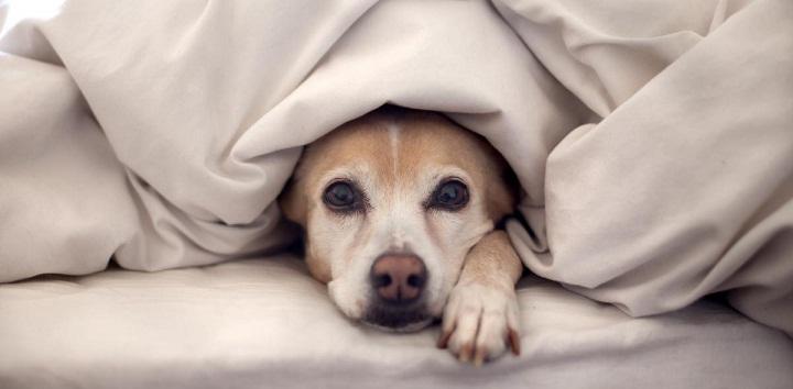 chien lit