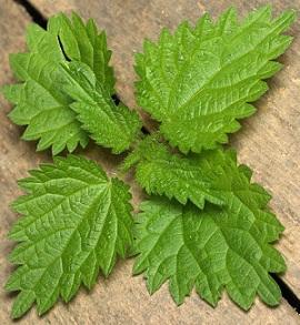 feuilles d'orties