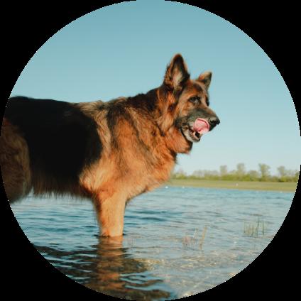 Berger Allemand dans un lac.
