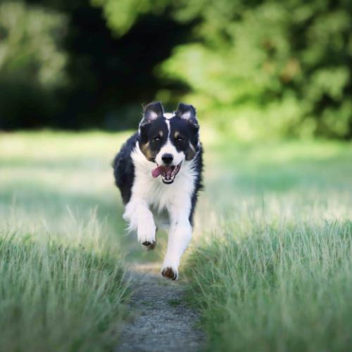Un chien qui court dans l'herbe.
