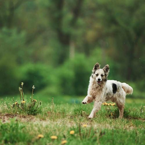 Un chien qui court.