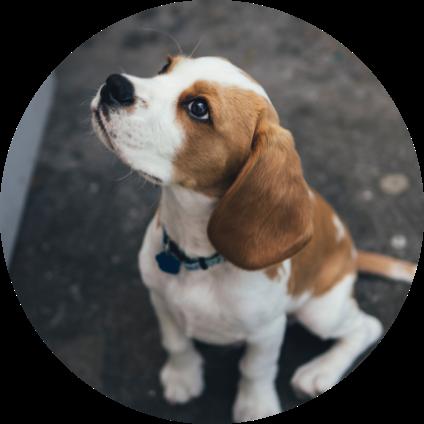 Un Beagle assis dans la rue.