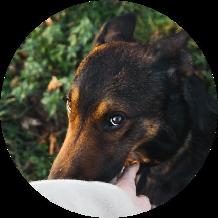 Un chien Beauceron regardant son maître.