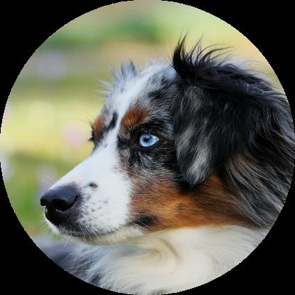 Le portrait du Berger Australien, une race de chien.