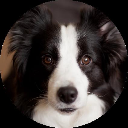 Le portrait du Border Collie, un chien de race.