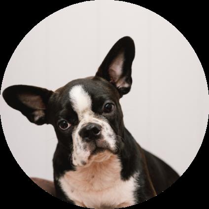 Le portrait du Boston Terrier.