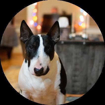 Un Bull Terrier assis.