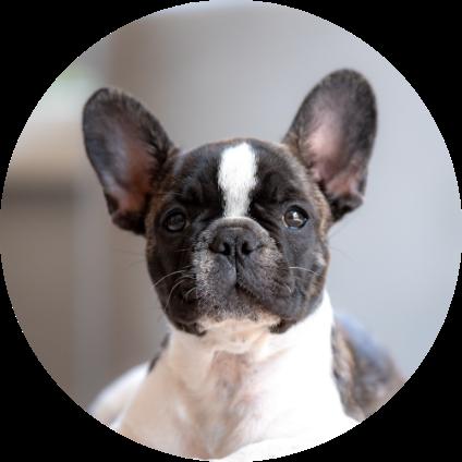Le portrait du Bulldog.