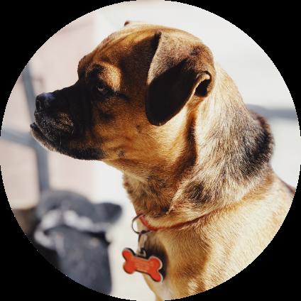 Le chien de race Tosa.