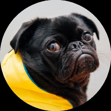 Le portrait du chien de race : le Carlin.