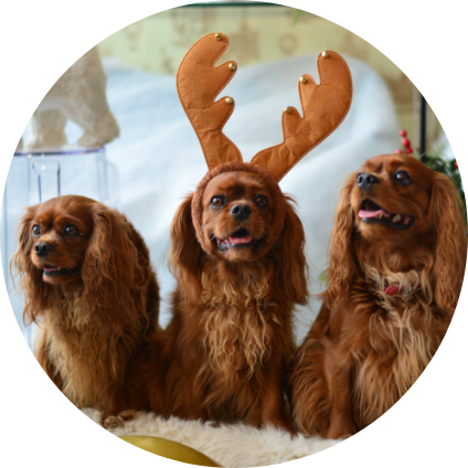 Trois Cavalier King Charles assient
