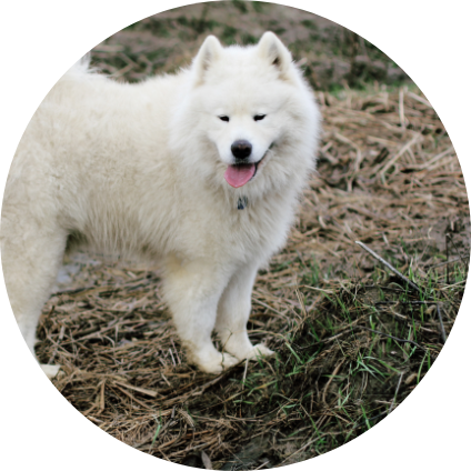 Un chien esquimau debout.