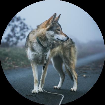 Un Chien-Loup en promenade.