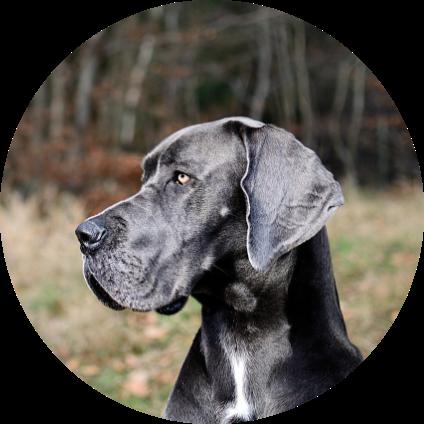 Le portrait du Dogue Allemand.