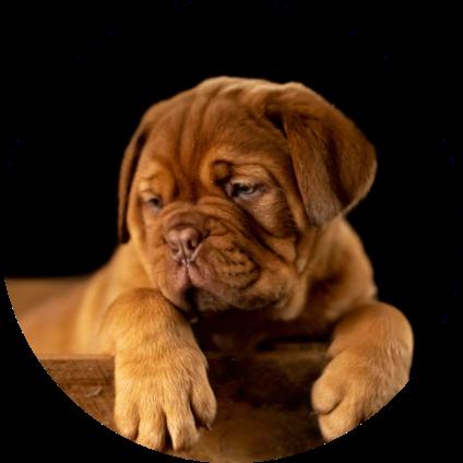 Le portrait du Dogue de Bordeaux.
